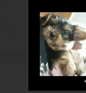 Purebred Yorkie Dollface puppies-ready to go-T-cup & Toy size