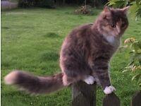 MISSING CAT - Longhaired grey tortoiseshell - reward offered.