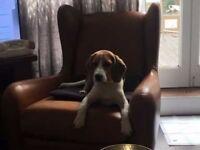 Tri Beagle Puppy