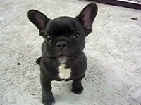 Adorable french bulldog litter