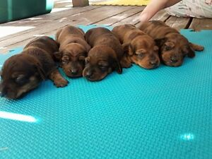 Gorgeous Rare Chocolate Mini Dachshund Puppies for sale