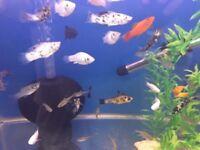 Tropical Fish Job Lot (live bearers )