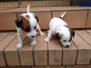 Purebred Jack Russel puppies