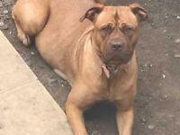 Dogue De Bordeaux X American Bulldog puppies