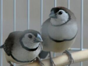Owl Finch Pair