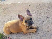 Blue Fawn Quad French Bulldog Girl