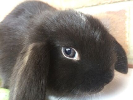 Beautiful Vienna marked ,VC pure bred mini lop ready now