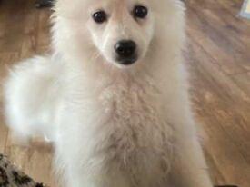 Beautiful white Pomeranian girl - REDUCED!