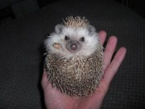 Male hedgehog