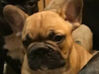 LOVELY CHUNKY FRENCH BULLDOG PUPPIES FOR SALE