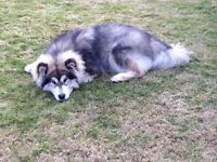 Alaskan malamute looking new home