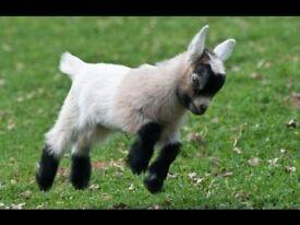 Baby Goat ring bearer needed