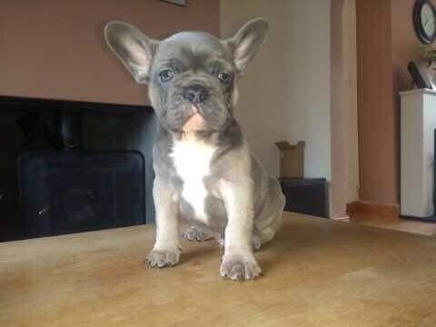 Male blue fawn French bulldog puppy for sale