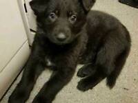 Black german shepherd pups for sale