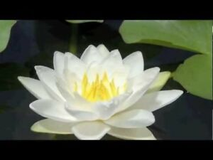 Water Lilly- pond plant - water lily