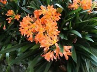 Large Clivia plant - orange flowers
