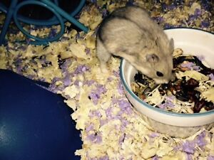 Healthy, Dwarf Russian hamster for $7