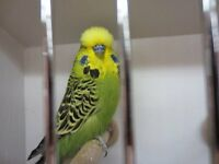 English Budgies available