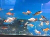 Assorted Goldfish for sale
