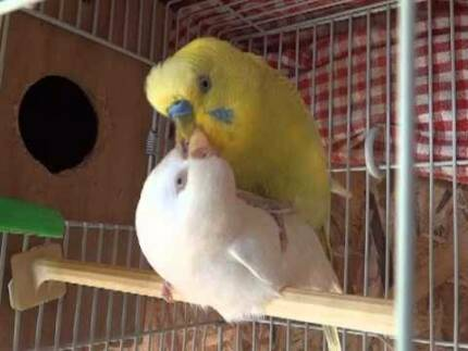 Breeding Pair of Budgies Westmead Parramatta Area Preview