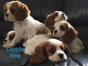 Puppies ready now. Cavalier King Charles Cranbourne South Casey Area Preview