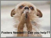"""Baby Male Dog - Maltese-Poodle: """"FOSTER HOMES NEEDED!"""""""