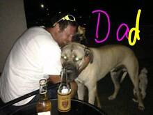 Dane / mastiff puppies for sale Gracemere Rockhampton City Preview