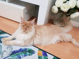 FIFE registered mainecoon