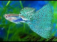 Guppies 20 for £10 cheaper than any shops any quantities available