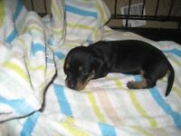 1 little girl miniature dachshund puppy