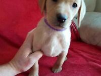 LABRADOR PUPS - READY NOW - LAST 2 AVAILABLE - 2 FOX RED GIRLS