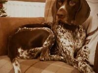 KC REGISTERED GSP GERMAN SHORTHAIRED PUPPIES - LIVER & WHITE TICKED