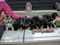 Pups for sale readvertising due to time wasters 3 boys and 1 girl left only genuine buyers please.