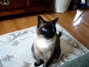 WTB shorthair seal point ragdoll kitten x is fine. Canley Heights Fairfield Area Preview