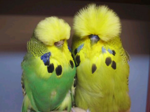 Looking for pair English budgies