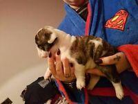 Stunning british bulldog pups kc reg