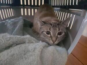 Young Female  - Siamese-Domestic Short Hair
