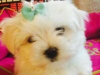 4 KC registered Maltese puppies