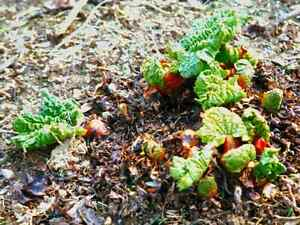 looking for rhubarb crowns or plants or seed