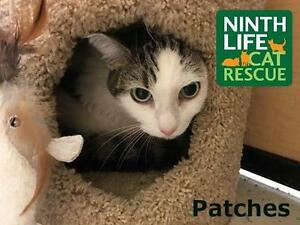 """Adult Female Cat - Domestic Short Hair: """"Patches"""""""