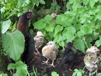 Bantam chickens for sale - hen with 7 chicks