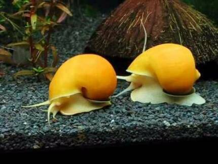 Apple Snails ( Golden and Tortoise shell )From $1