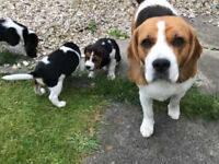 Lovely and Adorable beagle puppies available