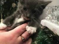 Beautiful grey/blue kitten BSH