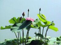 Rare Exotic Pond Plants 8 eight colours Hardy Tropical Lotus 8 seeds