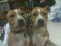 2 nearly 5yr old staffie sisters