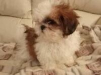 Stunning imperial Shih tzu puppies for sale