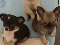 long haired chihuahua pups for sale stunning lovely markings viewing essential