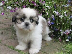 Looking for Shih Tzu puppy