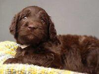 Standard Labradoodle Pups for Sale